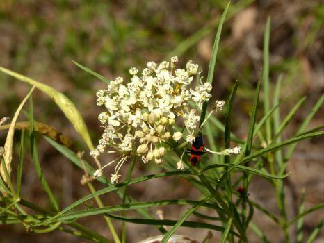 how to grow narrow leaf milkweed