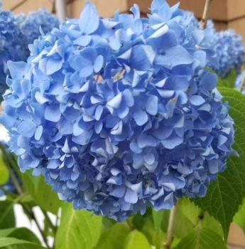 Blue hydrangea burst