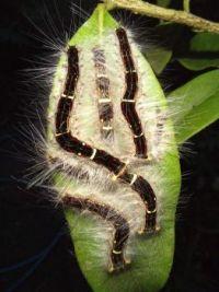 Dance of the caterpillars
