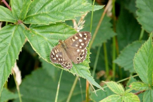 Bont zandoogje~Speckled Wood (Butterfly)