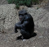Monarto Zoo Chimp