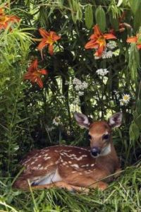 ..fawn in the ozarks
