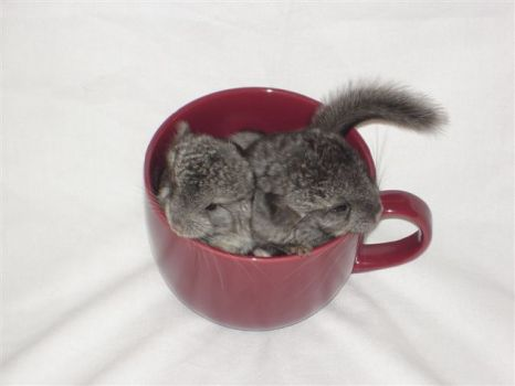 Chinchilla Tea