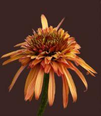 Echinacea - Sonnenhut