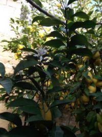The first blossoms on our lemon tree opened today
