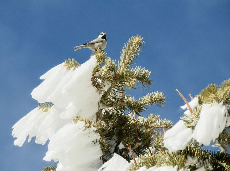 MOUNTAIN CHICKADEE - ON SANDIA MOUNTAIN - NM