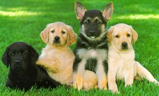 4 Guide dog pupps