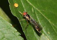 Gossamer Hoverfly - Baccha elongata (vliegende speld)