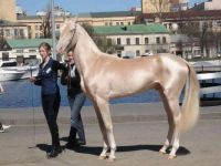the most beautiful horse in the world....
