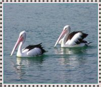 Pelicans swimming at The Entrance, NSW coast.
