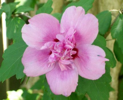 DOUBLE ROSE OF SHARON