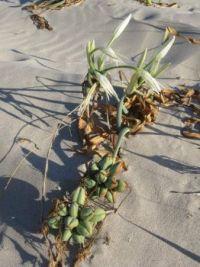 Flora of Sardinia: sea daffodil (Pancratium maritimum)