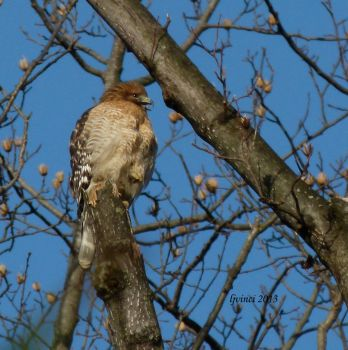 High in the trees...a red-shouldered hawk calling.