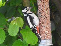 Grote bonte specht, vrouwtje (NL). Great spotted woodpecker, female (EN)