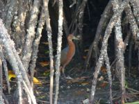 rufous-necked_wood-rail