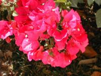 Bougainvillea on my patio