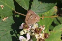 Ringlet - Aphantopus hyperantus (Koevinkje)