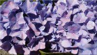 Lilac hydrangea ❀²