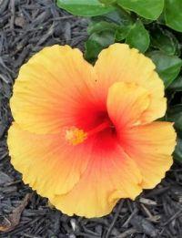 Hibiscus-Hawaiian Punch
