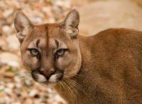 4  ~  'Cougar' (Panther/Mountain Lion) Florida, USA.