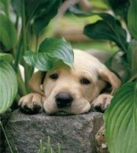 Puppy Resting her Head upon a Stone