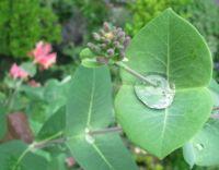 A honeysuckle harvesting raindrops - Dežne kaplje v kovačniku