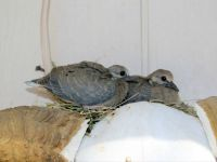 IMG_1192   BABY DOVES