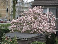 Lovely view on the Magnolia of one of my neighbours in the back.