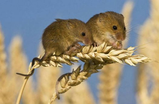 Two Harvest Mice, on wheat