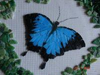 Ulysses butterfly in progress