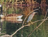 Green Heron with Canada Goose