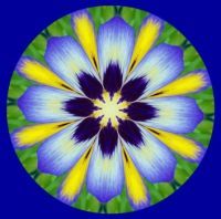 Pansy on Blue