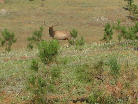 Black Hills elk