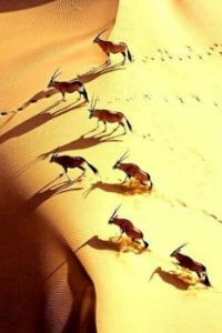 The Gemsbok (Oryx gazella) herd migration in Africa