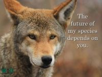 The Beautiful & Endangered Red Wolf