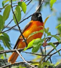 More Birds: Baltimore Oriole