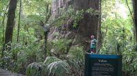 Yakas Kauri tree, Northland New Zealand
