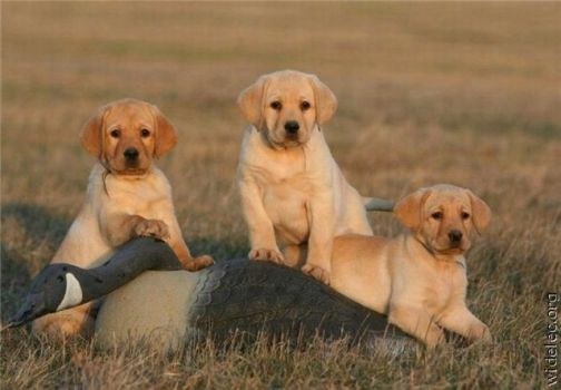 Golden Retriever puppies for Denise