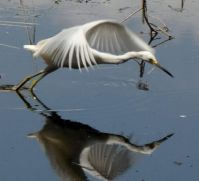 Egret lunging for a frog