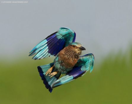 Indian Roller by Jineesh Mallishery