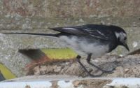 Pied Wagtail from an unusual angle