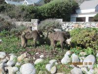 Baboons in Kommetjie