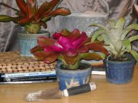 Bromeliads in Lovely Handmade Ceramic Pots