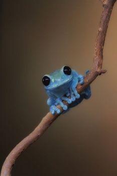 Blauw kikkertje.
