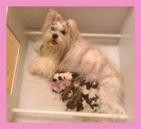 My Lhasa Apso Crystal with her babies