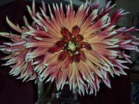 Dahlia odd colors 2