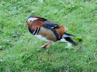 Mandarin Duck Small