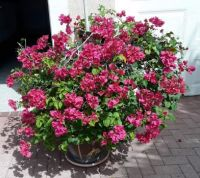 Bougainvillea Bush in front of my garage  Name stands for a sign of welcoming visitors and beauty