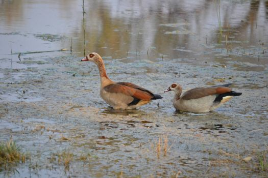 Egyptian Geese