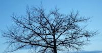 Bare Tree Silhouetted against Blue Sky